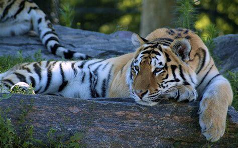 Best Tiger Desktop Background Wallpapers