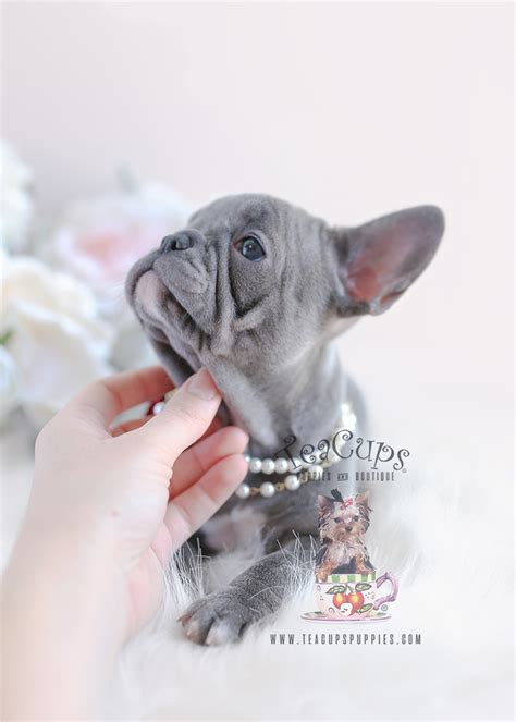 lilac french bulldog puppies teacups puppies boutique