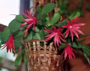 Cactus Sans Epine : le cactus de p ques sans pines mais la culture ~ Melissatoandfro.com Idées de Décoration