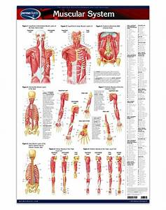 Muscular System - Anatomy Poster