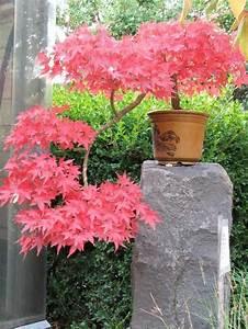1000 idees sur le theme erables japonais sur pinterest for Chambre bébé design avec arbustes d ornement à fleurs