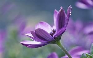 Download Single Purple Flower HD Wallpaper for desktop ...