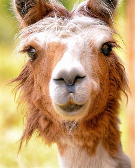 Llama Desktop Wallpaper Tumblr