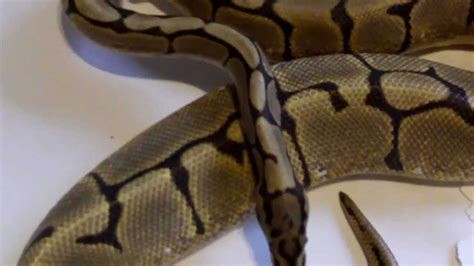 ball python heat l off at night signs of gravid ball python females youtube