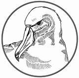Albatross Coloring Template Clipart Drawing Sketch sketch template