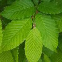 hornbeam hedge plants carpinus betulus hedging buy  uk