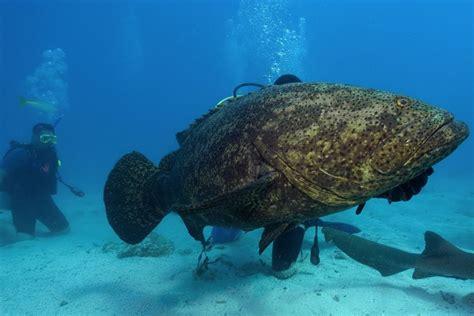grouper goliath fish shark giant florida bite coast weight grow single chomps york nydailynews