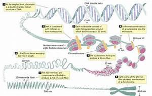 Bioprofe4  El N U00facleo  La Cromatina Y Los Cromosomas