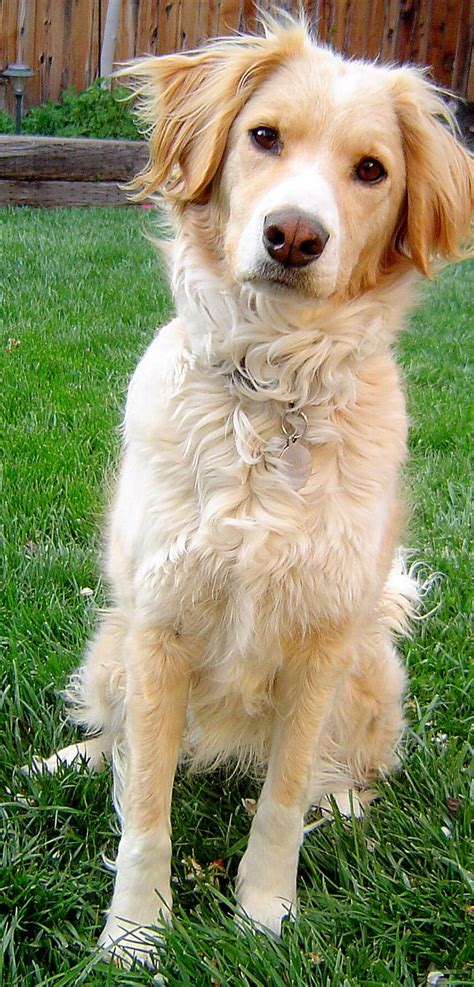 Image Result For Yellow Lab Border Collie Mix Doggos