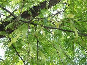 Honey Locust Tree Seed Pods