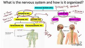 8 1 The Nervous System Structure And Function