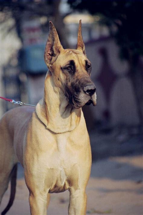 sandane kennels great danes gurgaon  dogspotin
