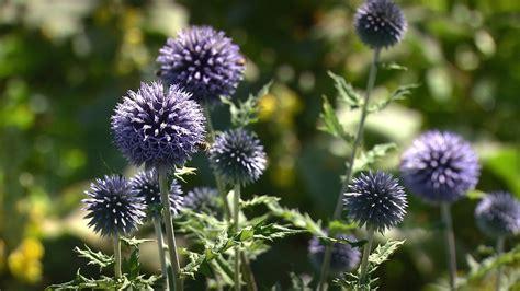 Distel Geißel Oder Gartenschönheit?  Querbeet Br