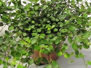 Pflanze Mit Großen Blättern : gr npflanzen f r den wohnbereich blumen pflanzen floristik ~ Michelbontemps.com Haus und Dekorationen