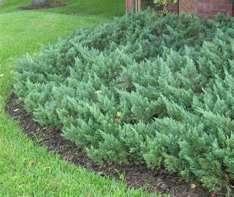 juniper plant shrubs