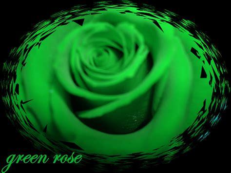 green rose backgrounds hdflowerwallpapercom