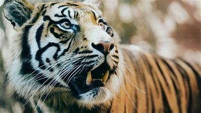 Tiger Tigre Wallpapers Awesome 5k Siberiano Pc