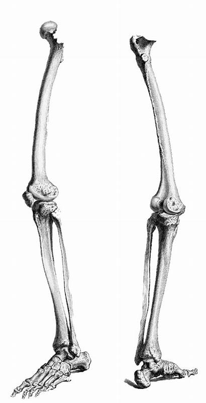 Skeleton Leg Legs Clipart Bones Drawing Human