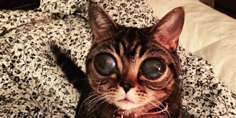 cat eyes alien matilda instagram huge cats eye feline kitten weird looks why eyed kitty condition there luxation lens giant