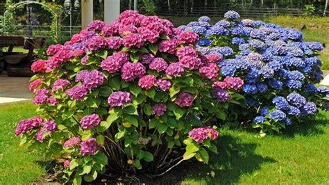 wann hortensien pflanzen krokusse arten wann sollte krokusse pflanzen