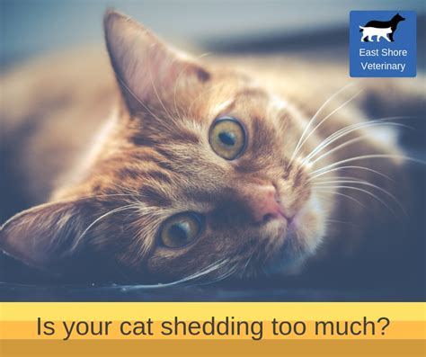 how to get your cat to stop shedding what to do when your cat sheds much east shore s