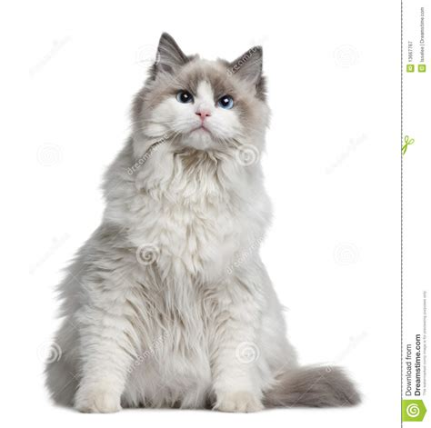 Ragdoll Cat, 7 Months Old Royalty Free Stock Photography