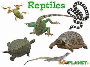 Reptiles | Animals planet