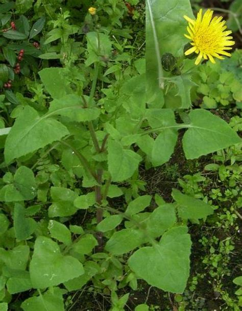 common liver cleansing herb identification   The Corn Maiden