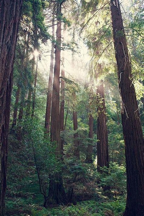 redwood tree photography bohemian print california print