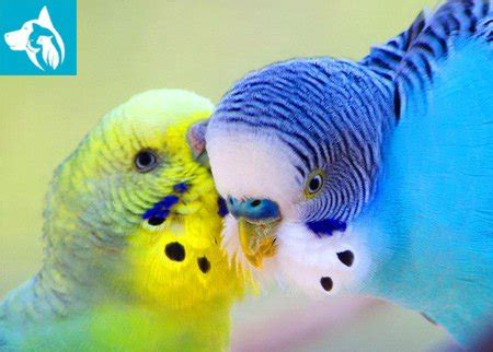 Baby Budgie Birds Parakeets