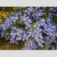 Buy Flowering Shrubs At Tn Tree Farm Nursery Flowering