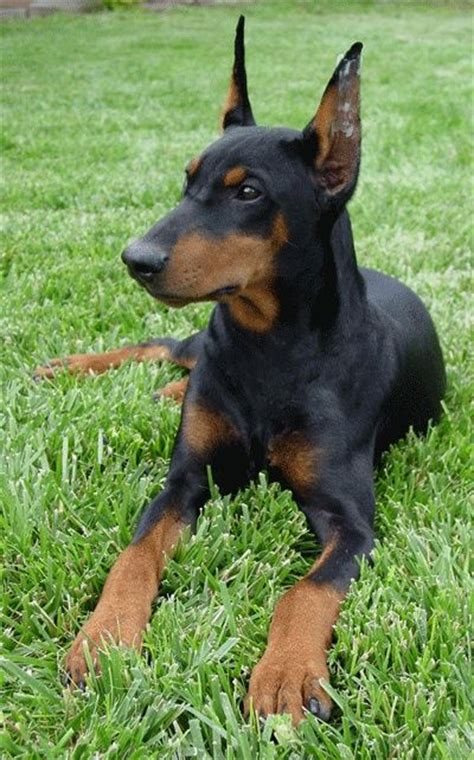 do miniature doberman pinschers shed 41 best images about german pinscher on