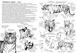 How to Draw Tiger Anatomy