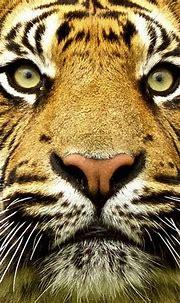 Eyes | Tiger species, Tiger, Save the tiger