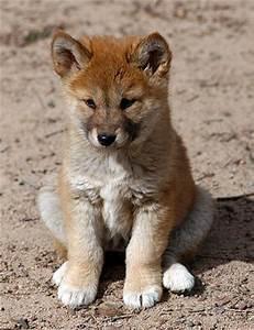 Animal Encyclopedia: Dingo