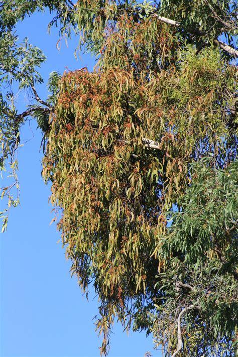 birds of australia key plants mistletoe loranthaceae