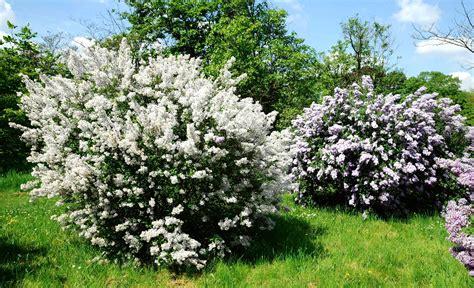 lilas en pot entretien lilas planter et tailler ooreka
