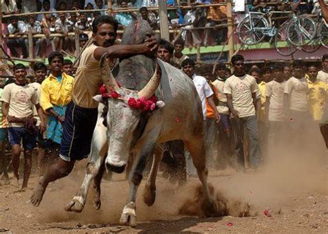 fighting in tamilnadu caleidoscope alanganallur jallikattu the bull fight of