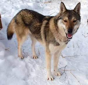 Dog Fórum.sk • Zobrazenie témy - Tamaskan