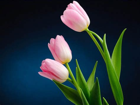 Tulip Picture Hd by Pink Tulips Wallpapers Wallpaper Cave