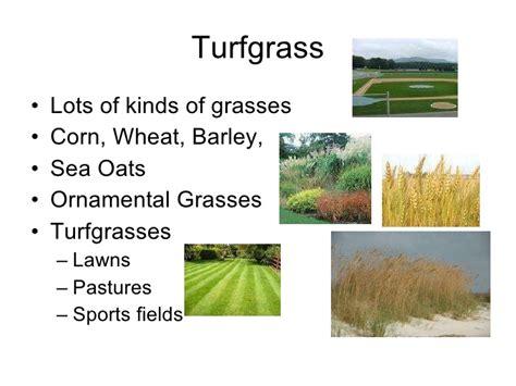 zone transition turf turfgrass grasses rhizomes