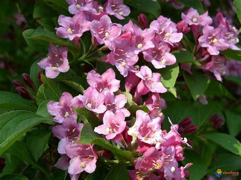 arbustes à fleurs photo wegelia