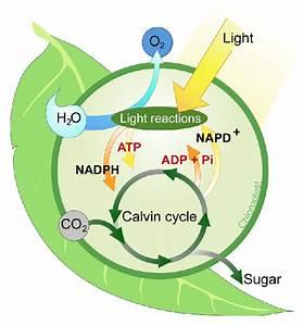 106 Summary Of Photosynthesis