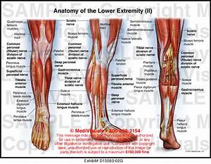 Anatomy Of The Lower Extremity  Ii  Medivisuals Medical