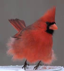 Red Cardinal Baby Birds
