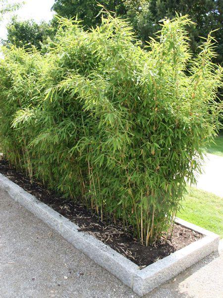 Bambus Sichtschutz Pflanzen by Bambus Desmondo Garten Balkon Garten Pflanzen