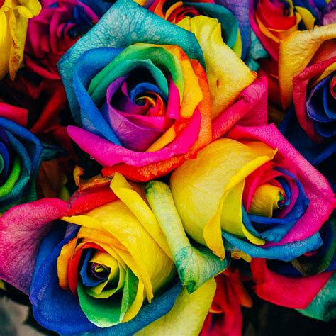 rainbow roses rainbow flower seeds rama deals