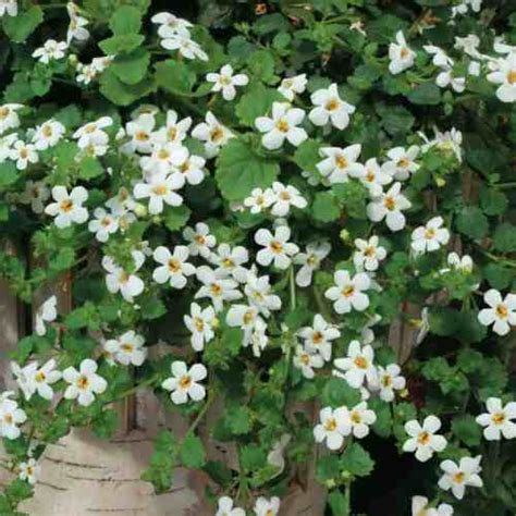 Best Plants For Hanging Baskets Pyracanthacouk