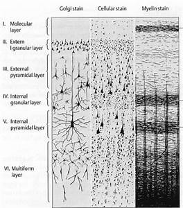 Cerebral Cortex - Layers