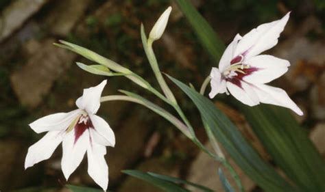 the top five bulbs to plant for an autumn garden flowering
